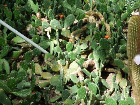 Cactus de Kew Gardens